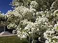 2014-05-02 13 49 49 Crabapple blossoms at the Nevada Department of Transportation station on Idaho Street in Elko, Nevada.JPG