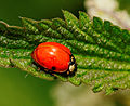 2014-06-02 13-19-58 Coccinellidae.jpg