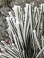 2014-12-17 09 46 35 Rime from freezing fog on pine needles in Elko, Nevada.JPG