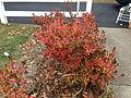 2014-12-20 13 16 06 Azalea cultivar 'Rosebud' during early winter along Terrace Boulevard in Ewing, New Jersey.JPG