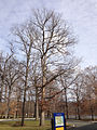 2014-12-30 12 13 25 White Oak near Metzger Drive at the College of New Jersey in Ewing, New Jersey.JPG