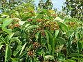 20140725Parthenocissus quinquefolia1.jpg