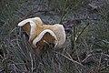 20141128 050 Well Wandeling Reindersmeer Paddenstoel Maasduinen (15874953686).jpg