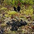 2015-03-28 Sabuloglossum arenarium (Rostr.) Hustad, A.N. Mill., Dentinger & P.F. Cannon 515567.jpg