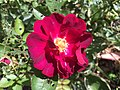 2016-05-14 10 37 35 A rose blooming along Tranquility Court in the Franklin Farm section of Oak Hill, Fairfax County, Virginia.jpg