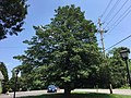 2016-07-20 13 32 47 Large American Holly along Maryland State Route 264 (Broomes Island Road) just north of Maryland State Route 265 (Mackall Road) in Mutual, Calvert County, Maryland.jpg
