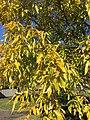 2016-11-15 11 19 09 Sawtooth Oak autumn foliage along Franklin Farm Road near Old Dairy Road in the Franklin Farm section of Oak Hill, Fairfax County, Virginia.jpg