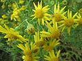 20161026Jacobaea vulgaris3.jpg