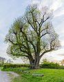 2017-04-24 Naturdenkmal Neusasser Linde 1.jpg