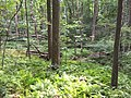 2017-08-10 16 41 02 Forest along the Gerry Connolly Cross County Trail between Twin Branches Road and the Washington and Old Dominion Trail in Reston, Fairfax County, Virginia.jpg