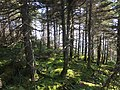 2017-09-11 12 26 35 Spruce-fir forest along the Long Trail between the Forehead and the Chin of Mount Mansfield within Mount Mansfield State Forest in Stowe, Lamoille County, Vermont.jpg