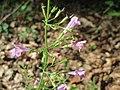 20170823Calamintha menthifolia1.jpg