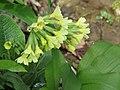 2018-04-09 (105) Primula elatior (true oxlip) at Bichlhäusl, Haltgraben, Frankenfels, Austria.jpg