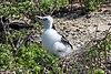 20180807-Great frigatebird (juvenile)-2 at Genovesa (9523).jpg