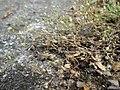 20190901Arenaria serpyllifolia.jpg