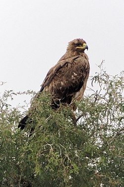 20191213 Aquila nipalensis, Jor Beed Bird Sanctuary, Bikaner 0923 8257.jpg