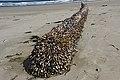 2020-05-07 — Pelagic Gooseneck Barnacle (Lepas anatifera) 3a.jpg