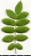 2020 year. Herbarium. Sorbus aucuparia. img-013.jpg