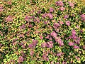 2021-06-03 09 36 28 Japanese spiraea blooming along Cobra Drive in the Chantilly Highlands section of Oak Hill, Fairfax County, Virginia.jpg