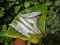 2357Fishes of the Philippines 74.jpg