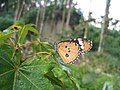 272樺斑蝶9(蔡鴻銘攝) (31608899982).jpg