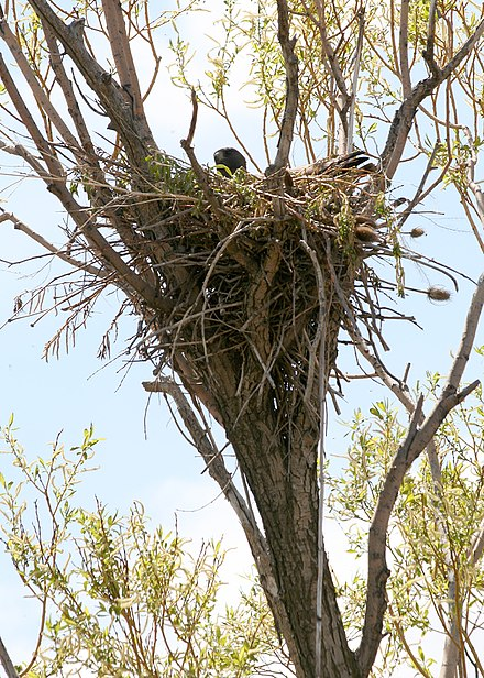 Red-tailed hawks build large but untidy looking nests 4548 red tail hawk nest odfw (4438948012).jpg