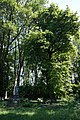 68-209-5007 Липа манжурська (3).jpg