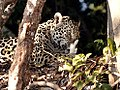 9008 jaguar caught a bird JF low res.jpg