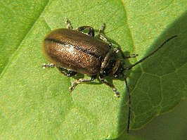 A Chrysomelid beetle - geograph.org.uk - 1285818.jpg