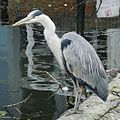A Heron at Brentford Locks.jpg