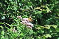 A Painted Lady feeding on Hemp-agrimony - geograph.org.uk - 1429694.jpg