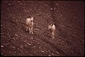 A Pair of Young Rams, 3-5 Years Old, Descend the Hillside Salt Lick at the West End of the Atigun Gorge (Four Miles From the Point Where the Pipeline Will Cross the Atigun River) 08-1973 (3971995256).jpg