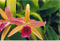 A and B Larsen orchids - Cattleya Enid 518-7.jpg