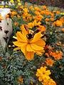 A bee on yellow flower.jpg