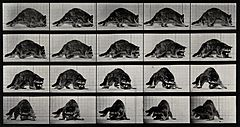 A racoon turning. Photogravure after Eadweard Muybridge, 188 Wellcome V0048780.jpg