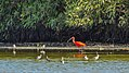 A red ibis in Bigi Pan (31095598482).jpg