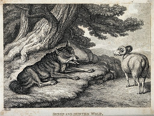 A sheep bleating at an exhausted, hunted wolf. Etching by W- Wellcome V0021602