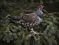 A spruce grouse sits on a tree branch near Igloo Canyon on Saturday, September 16, 2017. (a937286c-76a8-46b1-8955-2148e6ed32b3).JPG