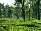 A tea garden in Dibrugarh.jpg