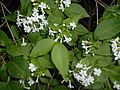 Abelia mosanensis 2016-05-31 1545.jpg