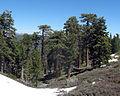Abies concolor - Pinus jeffreyi Manzanita Springs.jpg