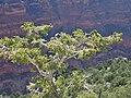 Abies concolor subsp. concolor kz08.jpg