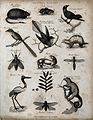 Above, a musk rat, a lemming, three birds and a weasel (must Wellcome V0020672EL.jpg