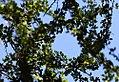 Acacia-oviedoensis.jpg