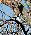 Acacia Pied Barbet (Tricholaema leucomelas) (32643001815).jpg