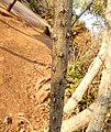 Acacia ataxacantha, tak met dorings, Little Eden.jpg