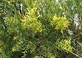 Acacia boormanii - Flickr - peganum.jpg