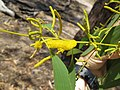 Acacia difficilis.jpg