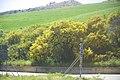 Acacia pycnantha.jpg