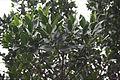 Acebiño Ilex canariensis.JPG
